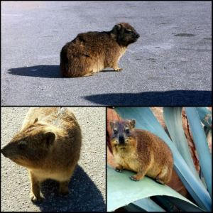 Think of the dassie before tossing your trash or feeding your furry friends.  Their lives may depend on your actions.